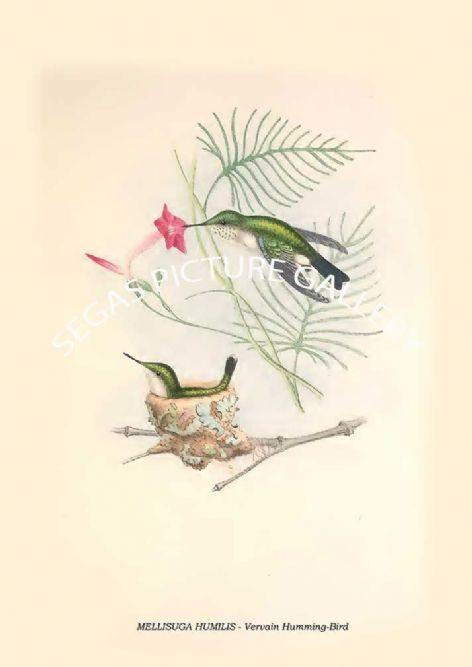 Fine art print of the MELLISUGA HUMILIS - Vervain Humming-Bird  by Philip Henry Goose (1849)